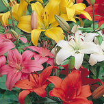 Asiatic Lilies Mix Large Pack