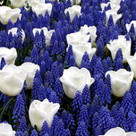 Blue and white Spring Bulbs