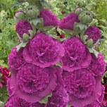 Alcea Rosea Purple