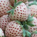 Strawberry White Pineberry (garden ready)