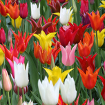 Tulipa Lily Flow. Mix