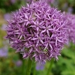 Allium bulbs