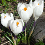 Crocus Jeanne d'Arc - Joan of Arc