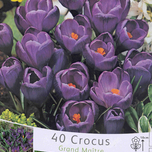 Crocus Flower Record (large pack)
