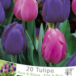 Tulip Triumph Pink and Blue