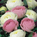 Ranunculus White and Pink Mixed