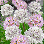 Allium Roseum & Allium Amplectans Mix