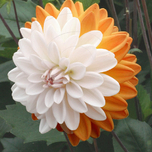 Dahlia Decorative Coupe Soleil