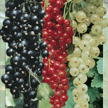 Collection Small Fruit (red, white & black currant)