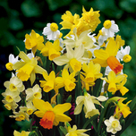 Daffodils Botanical Mix (Large Pack)