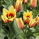 Tulip Greigii Red Yellow