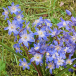Chionodoxa Lucilea (Glory of the Snow)