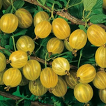 Yellow Gooseberry - Ribes uva-crispa