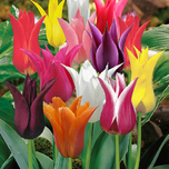 Tulip Lily Flowering Mix