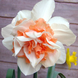 Daffodil Replete (Double)