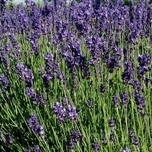 Lavender 20-30 cm high incl. container (plant)