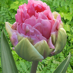 Tulipa double arosa