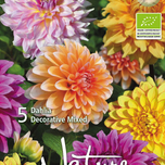Organic bulbs: Dahlia Decorative Mix
