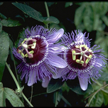 Passiflora Purple Haze (Passion Flower)