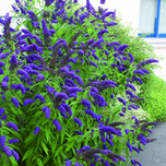 Butterfly bush – Buddleja Blue -