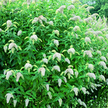Butterfly bush – Buddleja White -