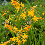 Crocosmia Yellow Sunshine