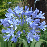 Agapanthus Cape lily Blue (Pot Plant)