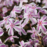 Creeping Phlox Subulata 'Candy Stripes'