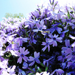 Creeping Phlox Subulata 'Emerald Cushion Blue'