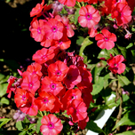 Creeping Phlox Subulata 'Scarlet Flame'