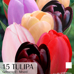 Tulips Purple Lady Mix
