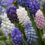 Muscari 'Super Mix'