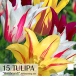 Tulipa lily-flowered Rembrandt mix