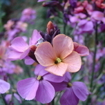 Wallflower Super Bowl Sunset (Erysimum Linifolium)