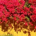Bougainvillea Red (Pot plant)