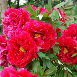 Peony Red Flowering (Pot Plant) - Karl Rosenfield