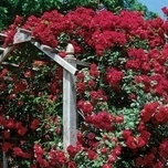 Climbing Rose Paul's Scarlet