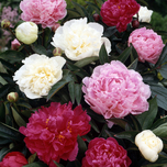 Peony Mixed: red, pink and white - Paeonia