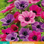 Anemones Purple and Pink Mixed