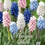 Muscari Sweet Candy Mix