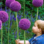 Alliums Gladiator (Large Pack)
