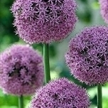Allium Gladiator (L)