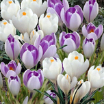Crocus Jeanne d'Arc and Crocus Vanguard Mix