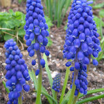 Muscari Armeniacum (Large Pack)