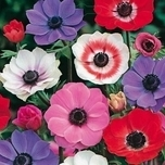 Anemones de Caen Mix (Large Pack)