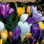 Crocus Botanical Mix Organic