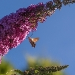 Butterfly bush 'Ile de France' (Buddleja)
