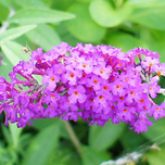 Butterfly bush 'Lilac Chip' (Buddleja)