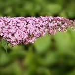 Butterfly bush 'Pink Delight' (Buddleja)