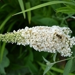 Butterfly bush 'White Profusion' (Buddleja)